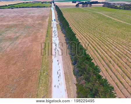 Aerial view of sheep on outback road. Featuring herd of sheep. Complete with sheep dogs, farmer and farm utes. Circle Irrigation (Centre Pivot) in view.