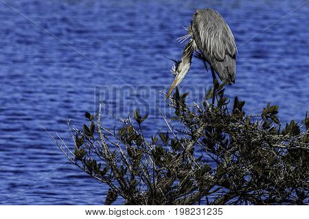 Great Blue Heron on top of a bush fishing at Merritt Island National Wildlife Refuge in Titusville FL