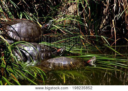 Three red-eared slider turtles rest along the side of a pond