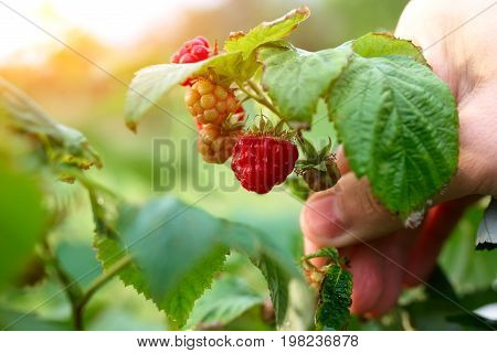 Branch Of Ripening Raspberries In The Sun's Rays Of The Setting Sun. Organic Ripe Red Raspberries On