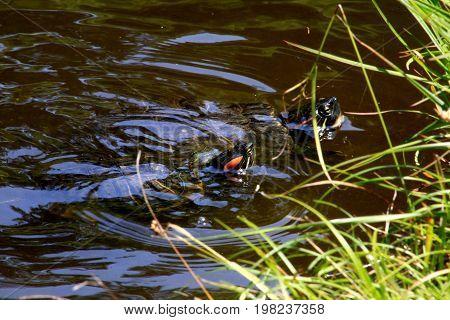 Red-eared slider turtles in a garden pond in a Japanese garden.