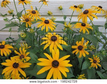 Sunflowers in full bloom during summer in suburban garden