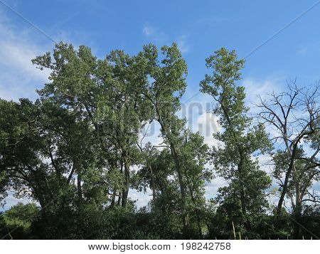 Trees in summer showing beautiful leaves while cloud formation develops with blue sky