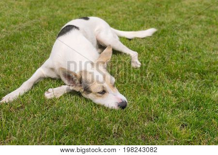 Cross-breed white dog lying on a green lawn