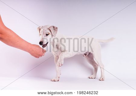 Jack Russell Terrier at studio on white with hand giving delicacy
