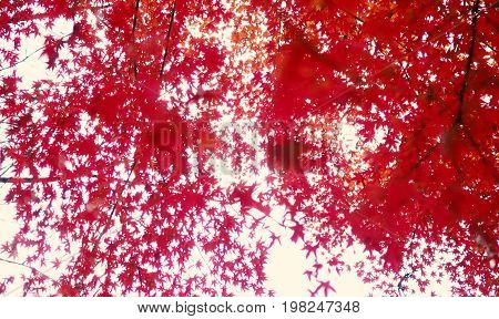 Blurred Red Color Maple Leaf .