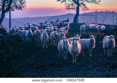 herd of sheeps at sunset time, Toscany.