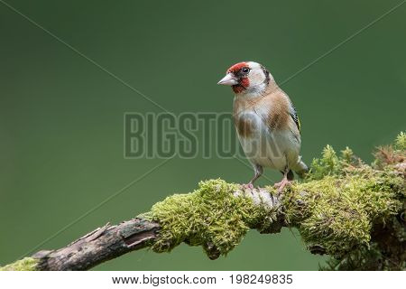 A male goldfinch perched on a moss lichen covered branch looking to the left in  inquisitive alert pose