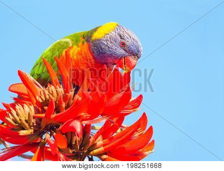 A Rainbow Lorikeet (Trichoglossus haematodus) - a colourful medium-sized Australian parrot - feeding on the flowers of a Coral Tree (Erythrina sykesii) in Perth, Western Australia.