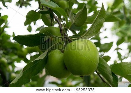 unpicked fresh organic green unripe apples with natural leaves background