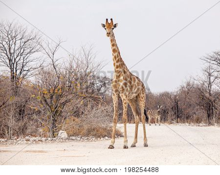 Young giraffe standing on the dusty road, Etosha National Park, Namibia, Africa.