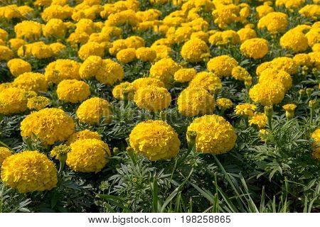 Tagetes is a genus of annual or perennial mostly herbaceous plants in the sunflower family Asteraceae or Compositae