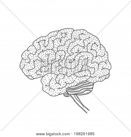 Vector illustration of human brain isolated on white background for medical design or idea of logo