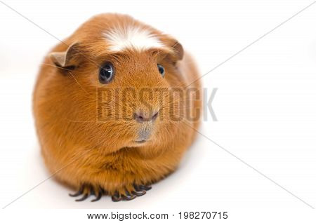 Cute guinea pig with a funny expression isolated on white (shallow DOF selective focus on the guinea pig nose) with copy space on the right