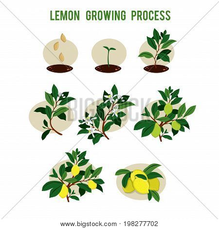 Plant seed germination stages. Process of planting and growing a lemon tree. Lemon tree cultivation in stages. Vector illustration