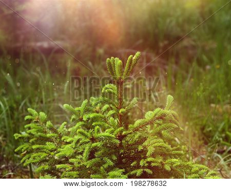 Young green spruce seedling growing in natural forest environment