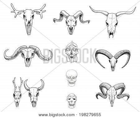anatomy illustration. engraved hand drawn in old sketch and vintage style. skull set or skeleton. Bull and mountain goat or buffalo. Animals with horns. ram or sheep. Elk and roe deer or bison