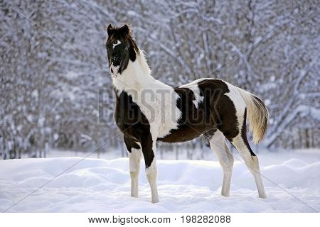 Black and white Paint Foal standing in a field of fresh snow