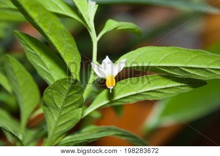 Flower Of Ornamental Nightshade