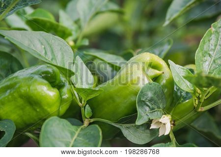 Pepper Grows. Green Pepper On A Bed.