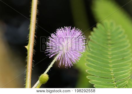 Flower of a sensitive plant (Mimosa pudica)
