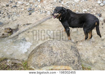 Black and tan cross breed dog standing in a stream alongside rocks cooling off on a hot day