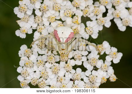 A Goldenrod Crab Spider waiting for prey on some yarrow flowers.