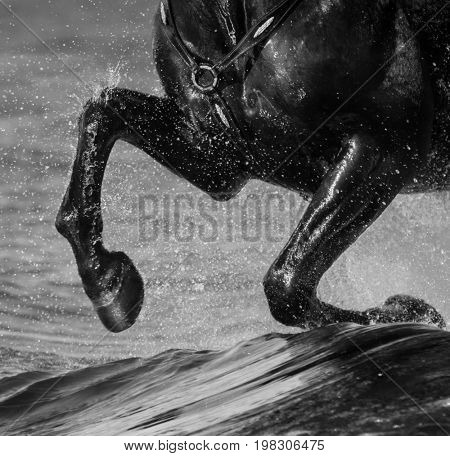Horse run gallop on water. Legs of horse close up with splashes. Black-and-White photo.