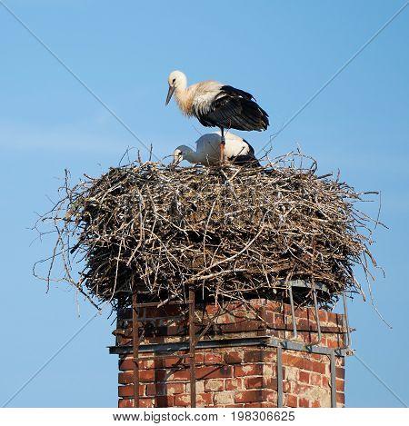 Storks in a nest in the village Biederitz near Magdeburg