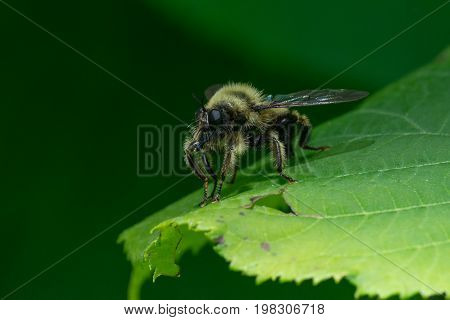 A Laphria sacrator robber fly bumble bee mimic waiting on a leaf for prey.