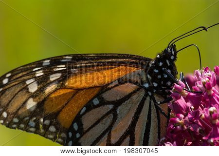 A Monarch Butterfly feeding from flowwers on a plant.