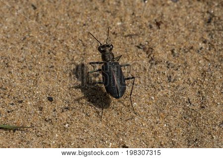 A Punctured Tiger Beetle on a sandy trail in Door County Wisconsin.