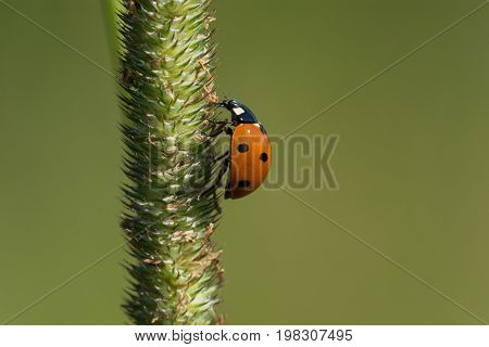 A Seven-spotted Lady Beetle climbing a stalk of grass.