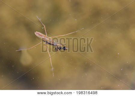 Water Strider On A Water Surface Eating An Ant