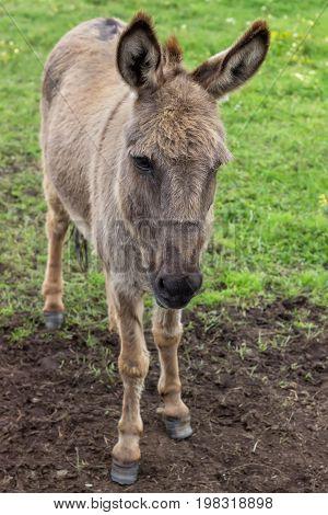 Domestic Donkey At The Farm