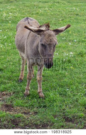 Domestic Donkey At The Farm 2