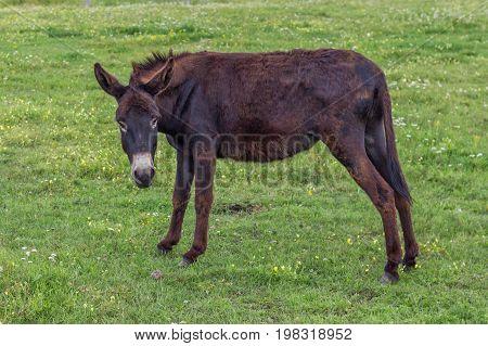 Domestic Donkey In A Field