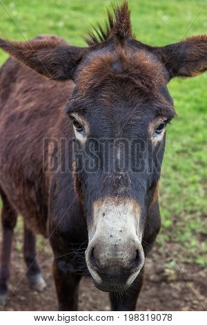 Domestic Donkey Portrait At The Farm