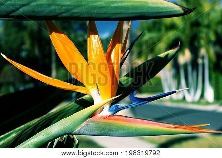 Strelitzia Reginae flower closeup in the detail. Flowering plant strelitzia reginae also known as strelitzia crane flower or bird of paradise
