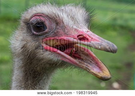 Ostrich Head With Beak Open