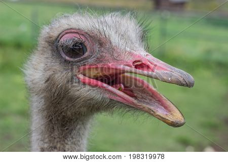 Ostrich Head With Beak Open 2