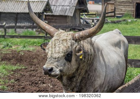 Podolian Bull With Big Horns At The Farm