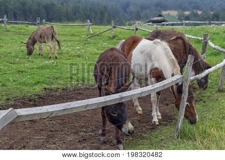 Pony And Donkeys At Ranch With Electric Fence