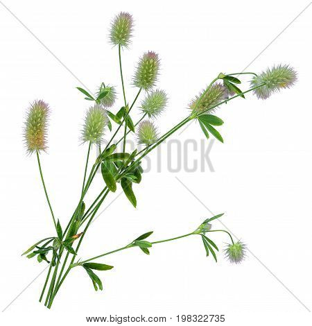 Trifolium arvense or hare's-foot clover rabbitfoot stone or oldfield clover plant with flowers isolated on white background