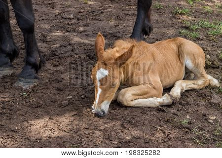 Foal Sleeping And Secure Under His Mom Legs