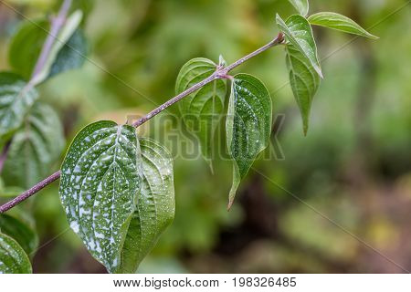 Leaves Sprayed With Bordeaux Mixture To Combat Mildew