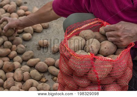 Farmer Fill Up Sacks With Potatoes At Farmers Market