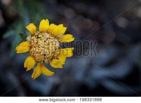 Yellow wilted marguerite flower with petals ready to fall.