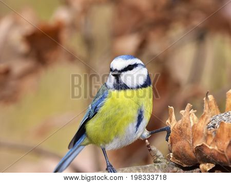 blue tit with its sunflower during winteritme