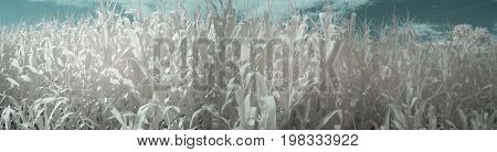 Panorama Of Summer Cornfield With Blue Skies In Infrared
